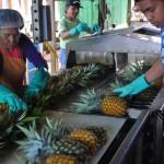 Maui Gold Pineapple Tour 6