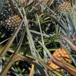 Maui Gold Pineapple Tour 5
